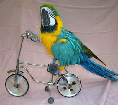 parrot show and bird shows with a parrot riding a bicycle