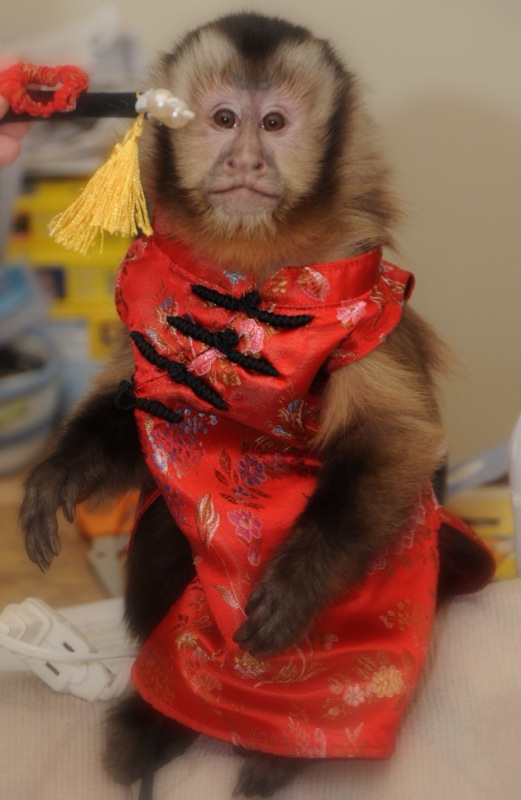 monkey in Chinese silk dress