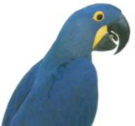 hyacinth macaw from parrots for parties the original party parrot posse.